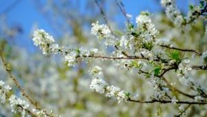 """Đèo Tằng Quái """"đẹp lạ"""" với thung lũng phủ kín hoa mận trắng"""