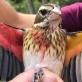 Phát hiện chim lưỡng tính 2 màu cực hiếm